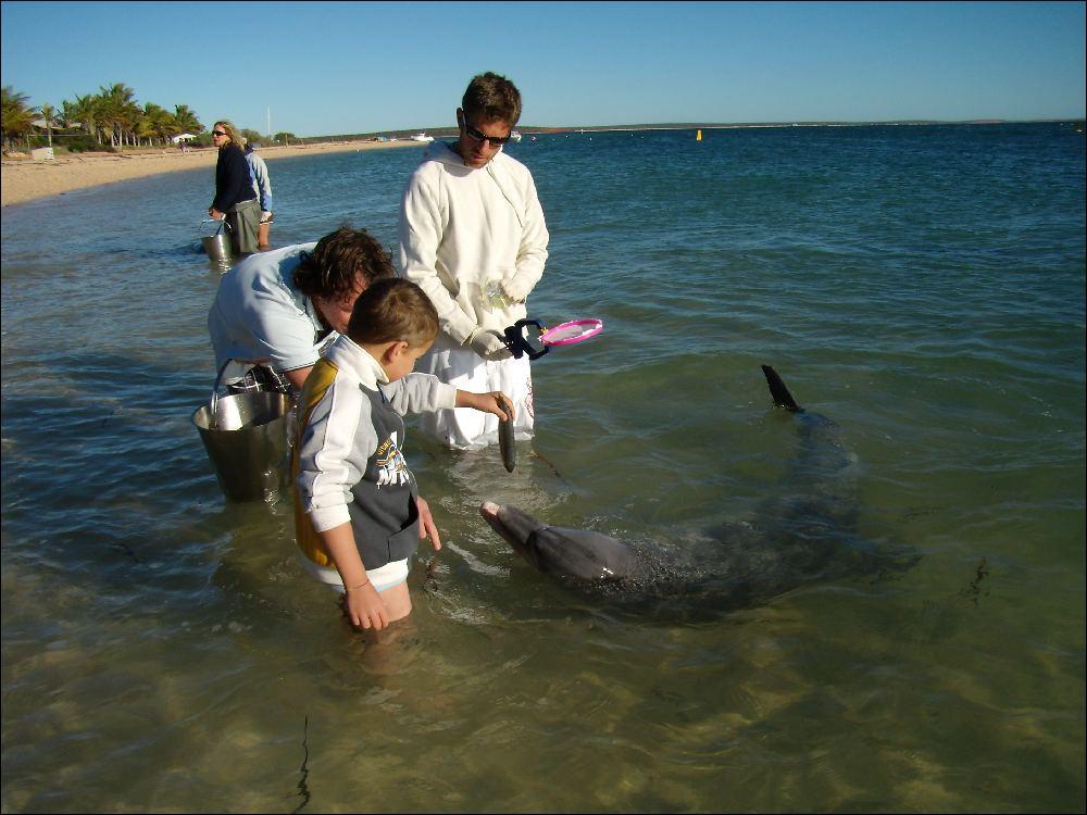 I delfini di Monkey Mia, Davide offre il pasto a Niki