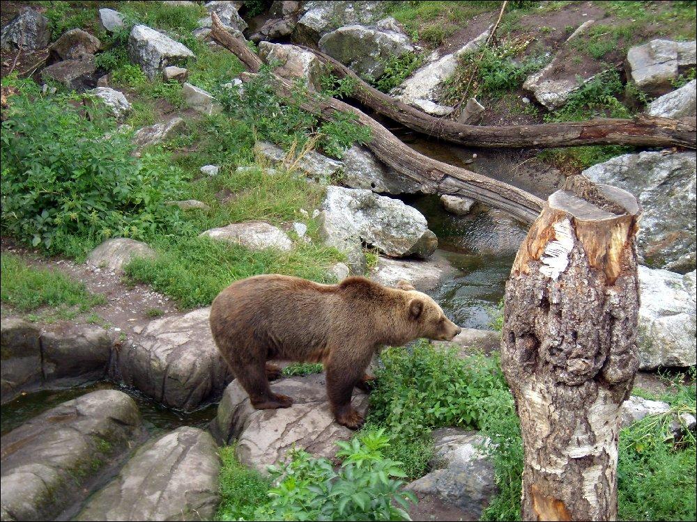 Orso nello Skansen
